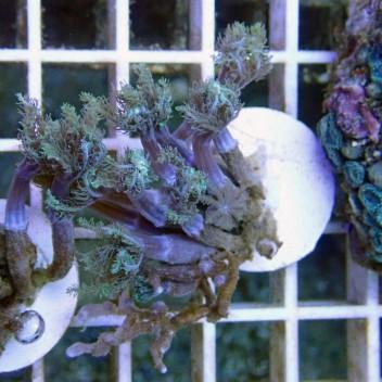 Cornularia vert cornu7