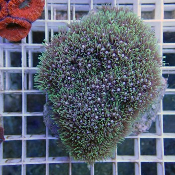 Pachyclavularia vert fluo pachy27