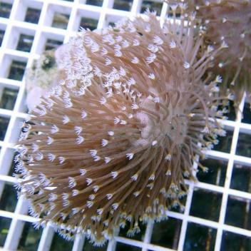 Sarcophyton polype blanc sarco33