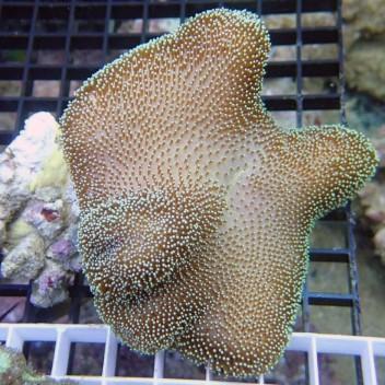 Sarcophyton polype blanc sarco36