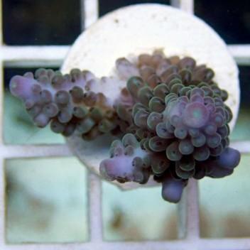 Acropora palystoma acro1880