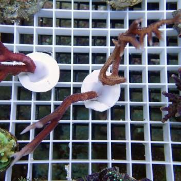 Seriatopora hystrix rose SH122