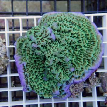 Montipora undulata monti274