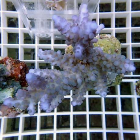 Acropora gomezi bleue acro1912
