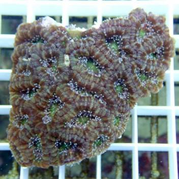 Acanthastrea lordhowensis AL419