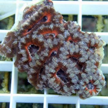 Acanthastrea lordhowensis AL423