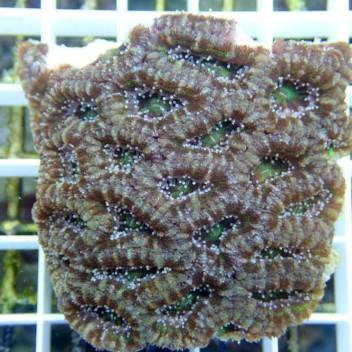 Acanthastrea lordhowensis AL424