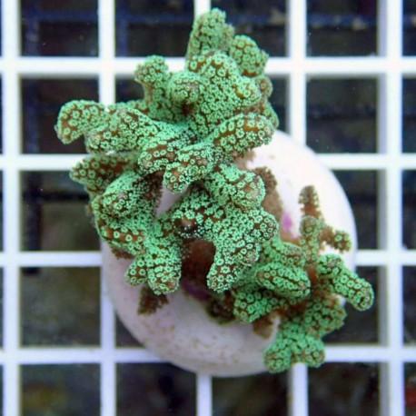 Seriatopora calendrium SC73