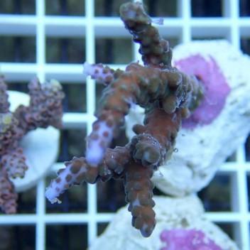 Acropora parilis acro1979