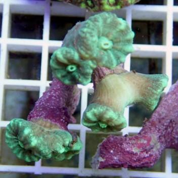 Caulastrea vert fluo frag caula75