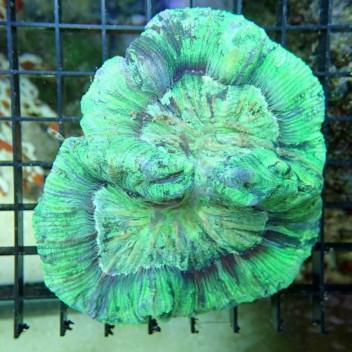 Trachyphyllia rainbow trachy5