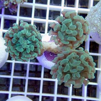 Euphyllia parancora euphy325