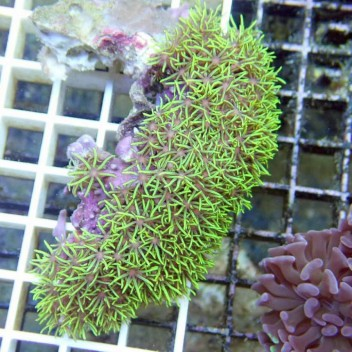 Pachyclavularia vert fluo pachy34