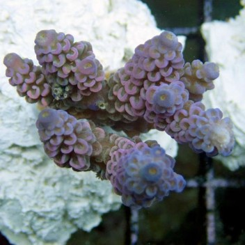 Acropora tenuis wald disney acro2033