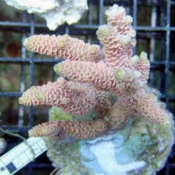 Acropora millepora acro2080