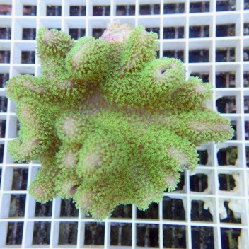 sarcophyton polype vert australie sarco42