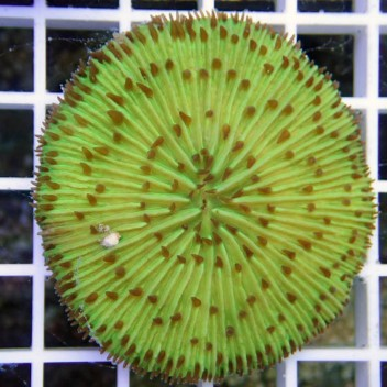 Fungia sp Fungia28