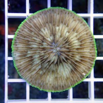 Fungia fungia77