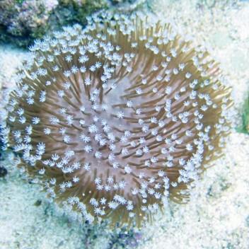 Sarcophyton polype blanc sarco34