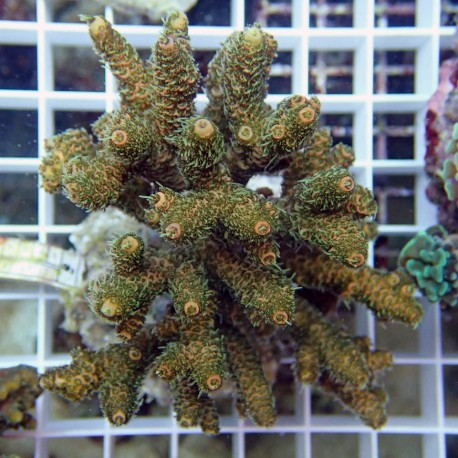 Acropora millepora acro1681