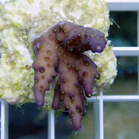 Acropora subulata tricolor acro2153