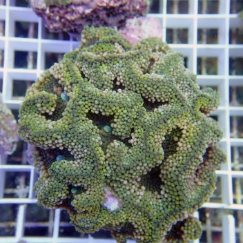 Ricordea floridae RF98