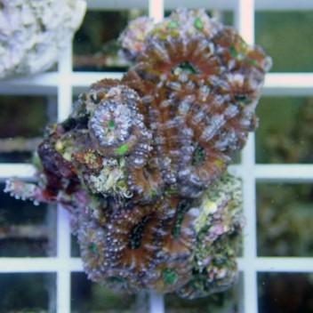 Acanthastrea lordhowensis AL469
