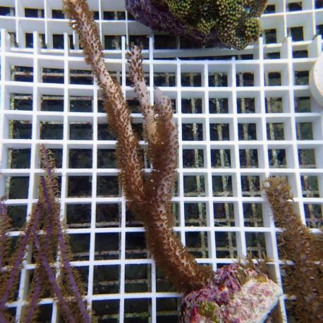 Gorgone symbiotique Pseudopterogorgia gorgone39