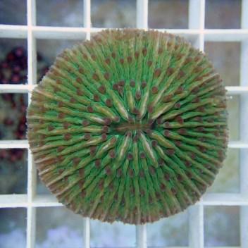 Fungia sp Fungia32 Australie