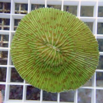 Fungia sp Fungia33 Australie