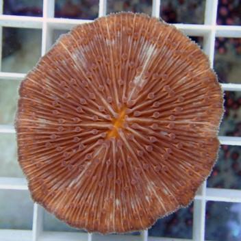 Fungia orange Fungia36 Australie