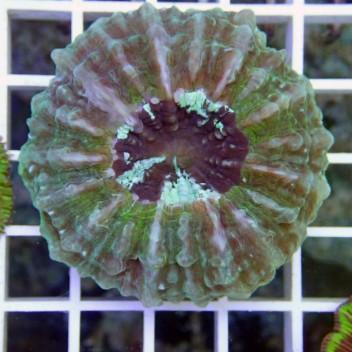Acanthophyllia deshayesiana acantho14