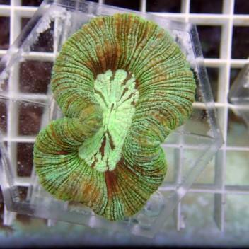 Trachyphyllia geoffroy64 Australie