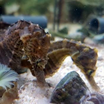 Hippocampus erectus 10/15cm