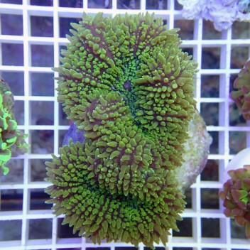 Lobophyllia corymbosa vert lobo74