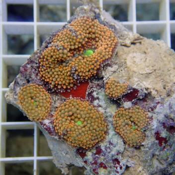 Ricordea floridae orange RF102