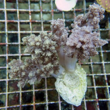 Lithophyton arboreum2 M