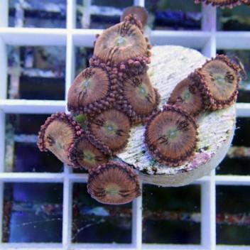 Zoanthus sakura Z489