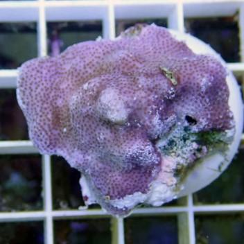Montipora mollis monti321