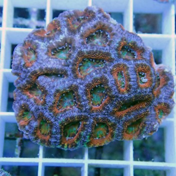 Acanthastrea lordhowensis AL522