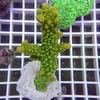Acropora formosa verte acro2359