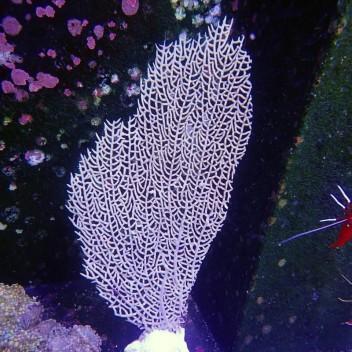 Gorgone symbiotique Gorgonia ventalina19