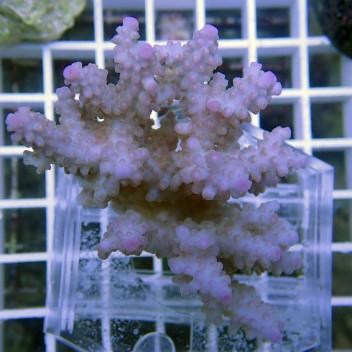 Acropora sp bleu acro2392