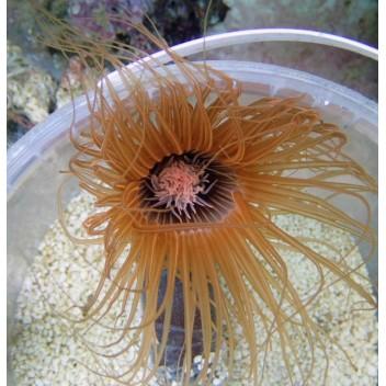 Cérianthe bicolor ultra ceri10