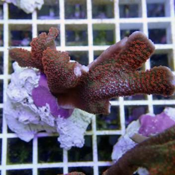 Montipora digitata polype rouge monti365