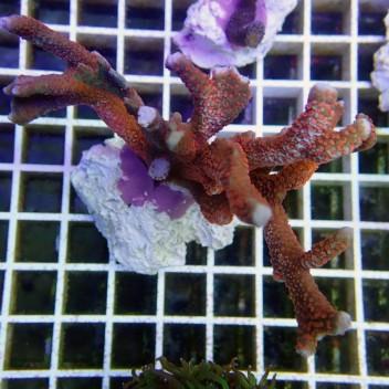 Montipora digitata polype rouge monti366
