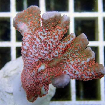 Montipora digitata polype violet monti375
