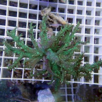 Sinularia flexibilis vert australie sinu18