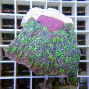 Echinopora lamellosa gris vert EL12