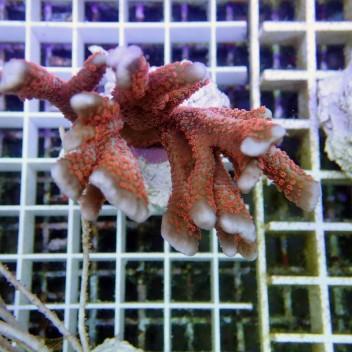 Montipora digitata polype rouge monti376